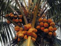 lovely-bunch-of-coconuts.jpg