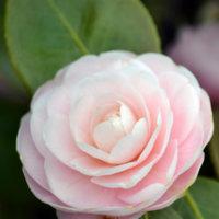light-pink-camellia-flower.jpg