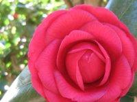 red-camellia.jpg