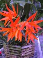 orangeorchid.JPG