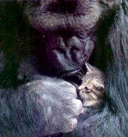 koko_gorilla_and_tabby_kitten.jpg