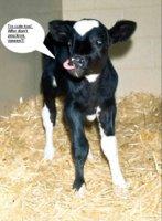 cute calf2.JPG
